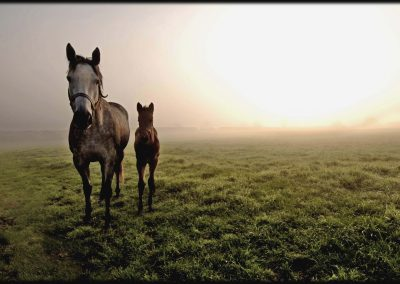 Grove Farm Stud photo of mare and foal